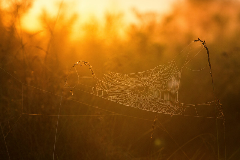A spiderweb is backlit during sunrise near Princeton, New Jersey