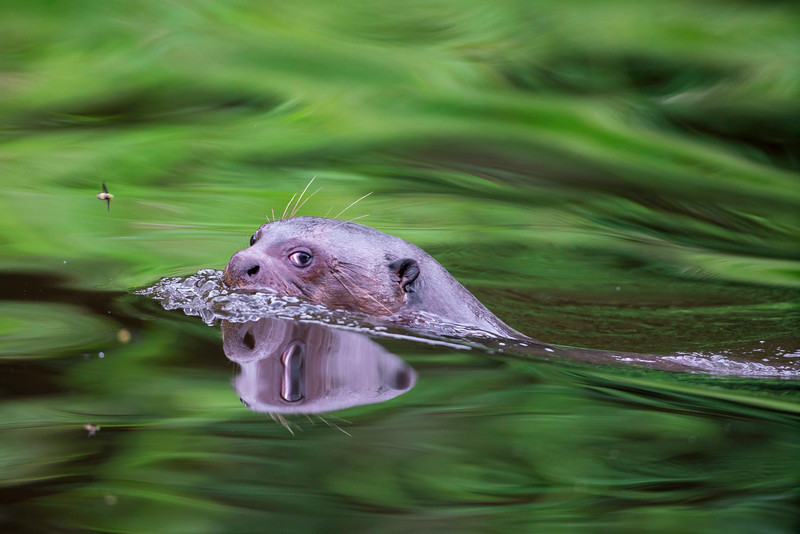 Giant River Otter, Madre de Dios, Peru