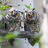 A pair of long eared owls in Jackson Hole, Wyoming