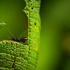 Little Caterpillar on a Leaf, Cosñipata Valley