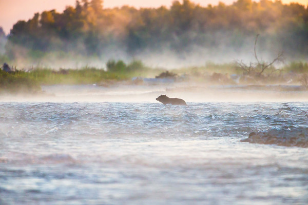 A Black Bear Crosses the Snake River at Dawn. Grand Teton National Park, Wyoming