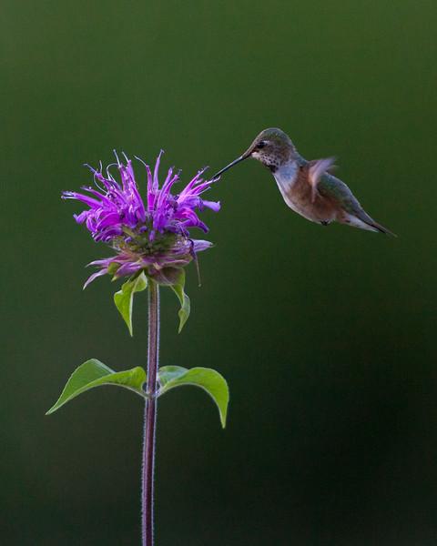 Ruby Throated Hummingbird. Teton Village, Wyoming. 2016