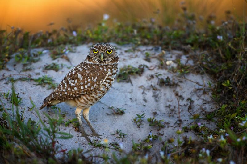 Burrowing Owl. Cape Coral, Florida. 2017