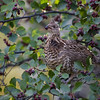 Ruffed Grouse in a Hawthorne Bush. Teton Village, Wyoming. 2016