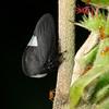 Leaf hopper in Manu