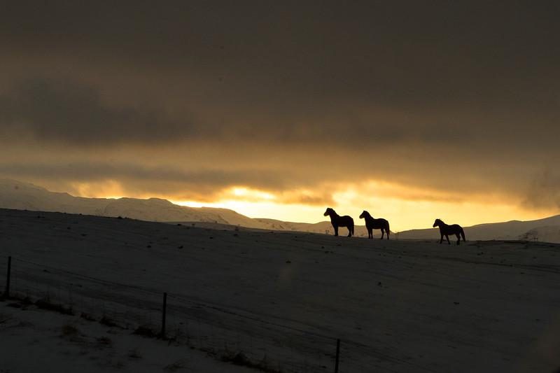 Icelandic horses walk up a ridge at sunrise in southern Iceland
