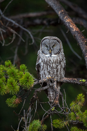 Great Grey Owl. Yellowstone National Park. 2016