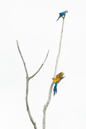 Blue and Yellow Macaws, Madre de Dios