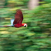 Flying Macaw, Madre de Dios