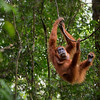 Female Sumatran Orangutan. Gunung Leuser National Park. Indonesia