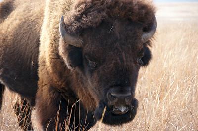 Great Bull Up Close