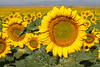 Field of Sunflowers, Colorado