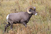 Big Horn Sheep Ram, Yellowstone NP