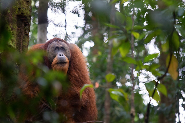 A male orangutan looks for figs in the canopy