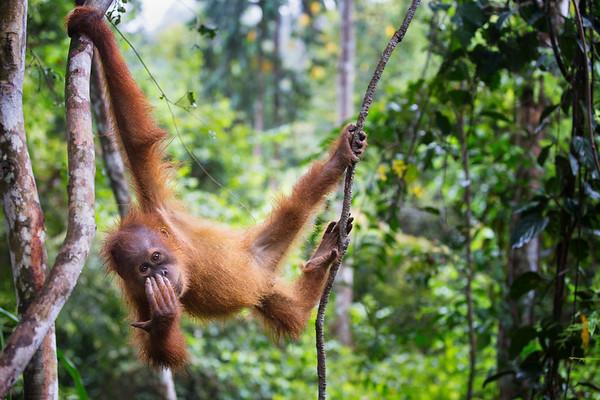 A baby orangutan plays near Bukit Lawang
