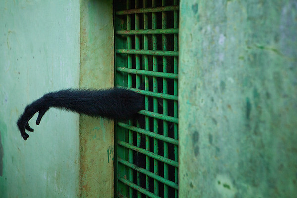 A gibbon reaches out of a small cage at the Medan City Zoo.
