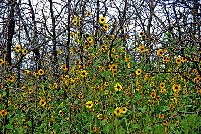 Sunflowers Emerge From Dead Trees