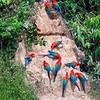 Macaws at a claylick, Madre de Dios