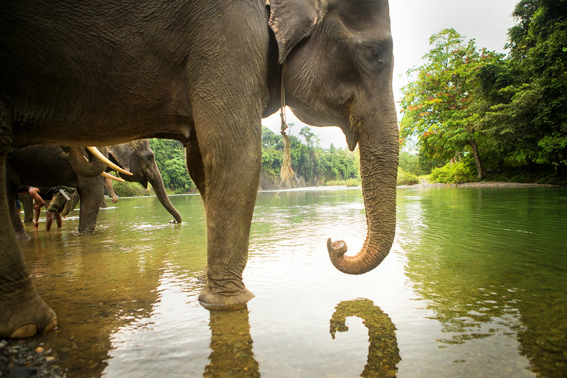 Sumatran elephants drink at a river near Tangkahan