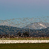 Snow geesse in Skagit Valley