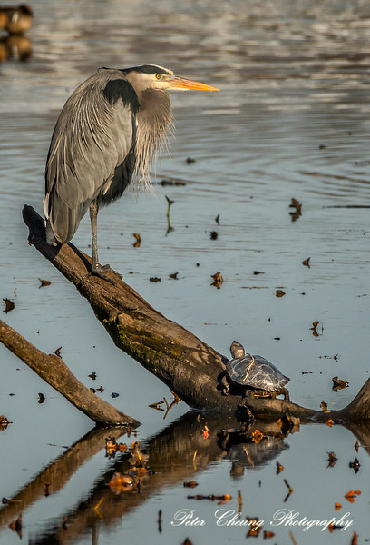 Great Blue Heron and a Turtle