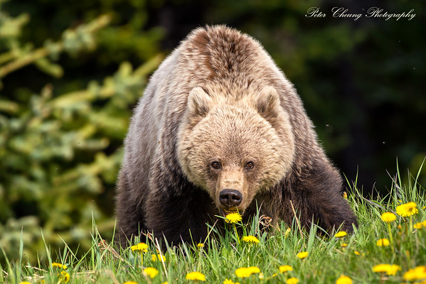 Young grizzly bear in Banff National Park