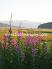 Alaska Fireweed - #2