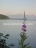 Alaska Fireweed - #1