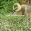 Nature- Animals- #1 - Canadian Goose Gosling