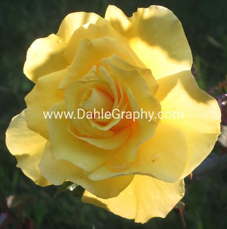 Nature- Plants- #1 - Yellow Rose