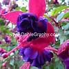 Nature- Plants- #2 - Fuchsia