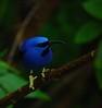 Honey Creeper from the Humming Bird Family  (0294)