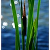 Cattail with sparkle
