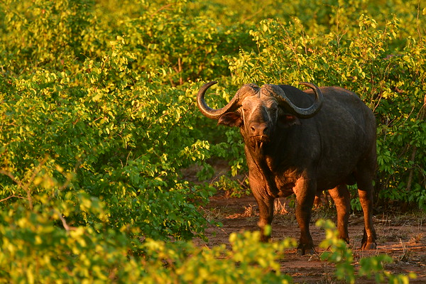 Cape Buffalo With Sunset