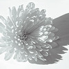 Chrysanthemum  Angel Wing