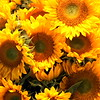 Sunflowers en Masse
