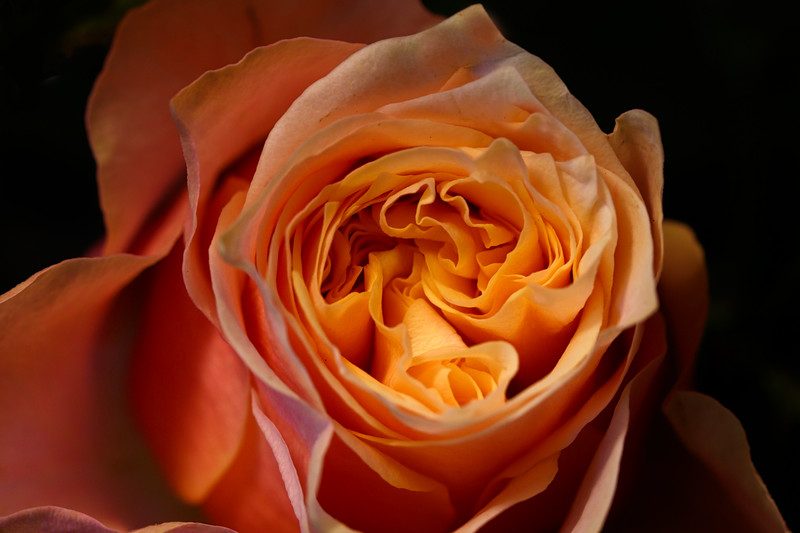 Heirloom Rose