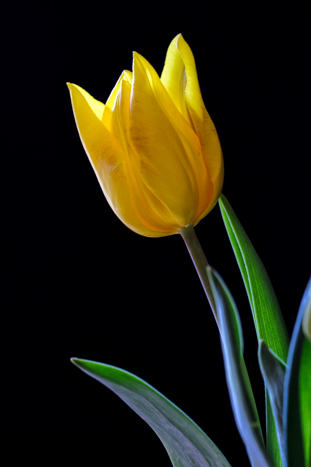 Tulip 2