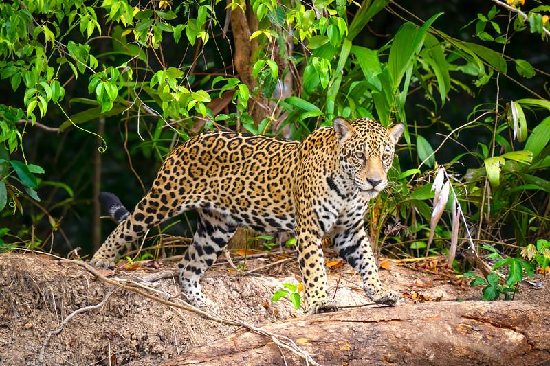 Jungle Stretch