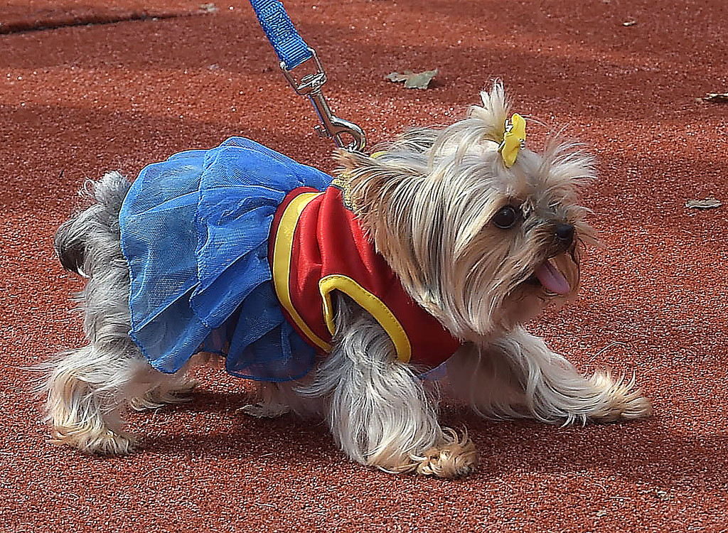 ". PETE  BANNAN-DIGITAL FIRST MEDIA     The best costume at the Top Dog contest  went to teacup Yorkie \' Sassy""  owned by Olivia Graber of Newtown Square."