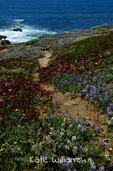 Blooming Bodega Head Path