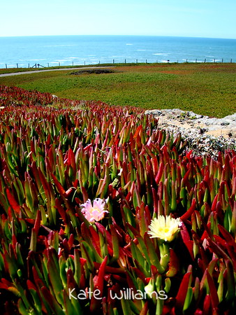 Ice Plant at Duncan's Landing