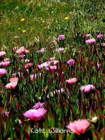 Pink Ice Plant