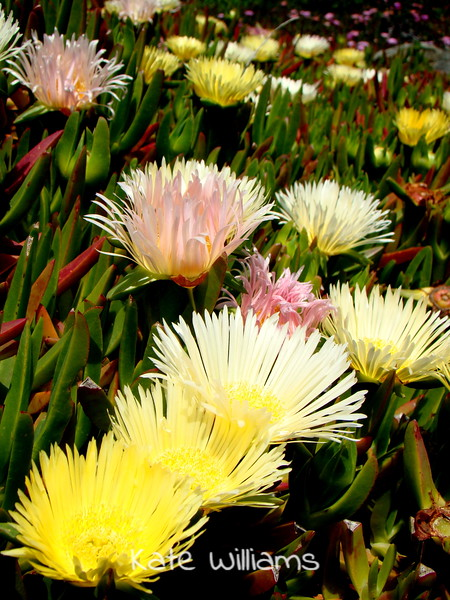 Pink and Yellow Iceplant