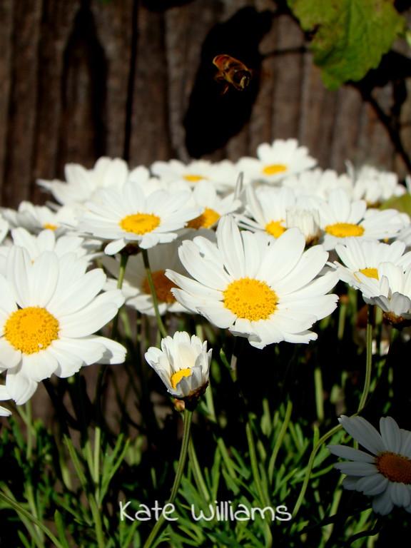 Daisies and Friend Taken in the garden
