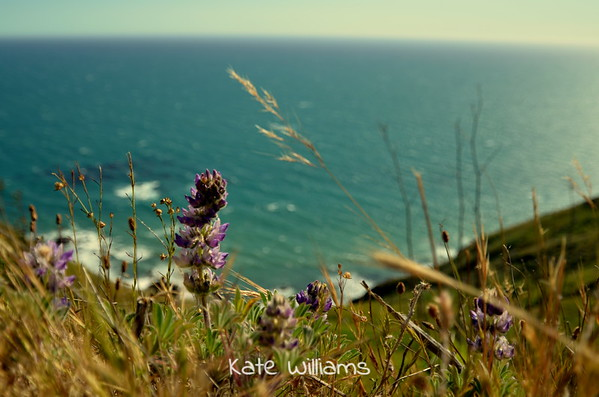 Seaside Lupine