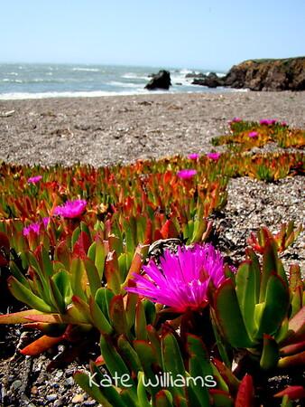 Ice plant, Schoolhouse beach