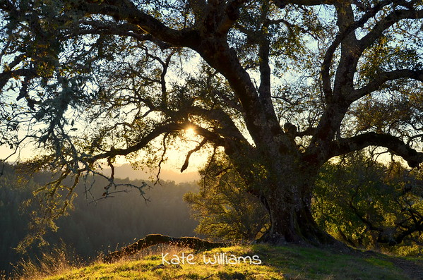 Oak in Light