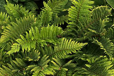 Ferns In The Backyard