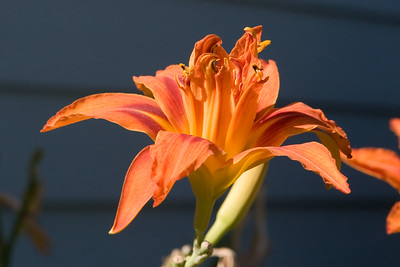 Lily In Evening Sun   Vancouver, Washington